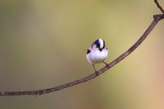 Long-tailed Tit Stockbilder