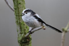 Long tailed tit. You seldom see this bird alone mostly they live in groups Stock Images