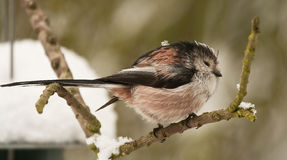 Long Tailed Tit royalty free stock image