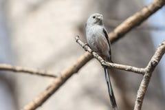 Long-tailed Tit Stockfotos