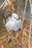 Long tailed tit (Aegithalos caudatus) Royalty Free Stock Image