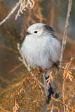 Long tailed tit (Aegithalos caudatus) Stock Photo