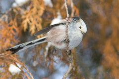 Long tailed tit (Aegithalos caudatus) Stock Images