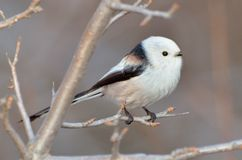 Long tailed tit (aegithalos caudatus) Royalty Free Stock Photo