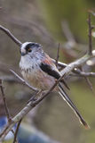 Long-tailed Tit (Aegithalos caudatus). Perched on a branch Royalty Free Stock Photo