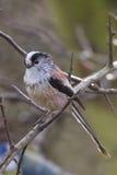 Long-tailed Tit (Aegithalos caudatus) Royalty Free Stock Photo