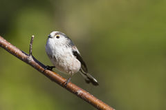 Long Tailed Tit  (Aegithalos caudatus) Stock Photography