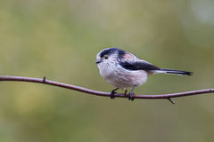 Long Tailed Tit  (Aegithalos caudatus). Perched on a branch Stock Image