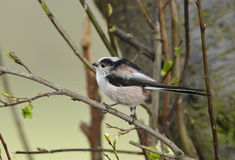 Long Tailed Tit Royalty Free Stock Photos