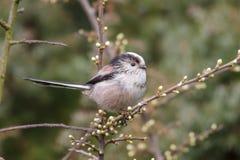 Long-tailed Tit (Aegithalos caudatus) Lizenzfreie Stockfotografie