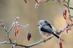 Long-tailed Tit Aegithalos-caudatus Stockfoto