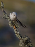 Long Tailed Tit - Aegithalos caudatus. On the autumn nigration way at Curonian Spit, Lithuania Stock Photos