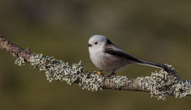 Long Tailed Tit - Aegithalos caudatus. On the autumn nigration way at Curonian Spit, Lithuania Royalty Free Stock Photo