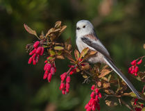 Long Tailed Tit - Aegithalos caudatus. On the autumn nigration way at Curonian Spit, Lithuania Royalty Free Stock Photos