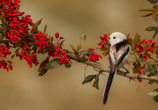 Long Tailed Tit - Aegithalos caudatus. On the autumn nigration way at Curonian Spit, Lithuania Stock Images