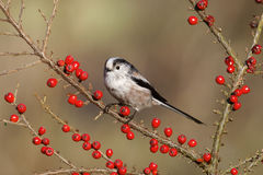 Long tailed tit, Aegithalos caudatus Royalty Free Stock Image
