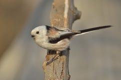 Long tailed tit ( aegithalos caudatus ) Royalty Free Stock Images