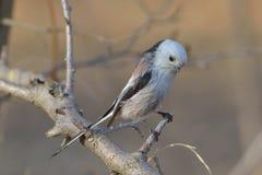 Long tailed tit ( aegithalos caudatus ) Stock Photography