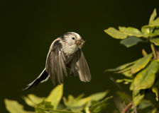 Long-tailed tit Aegithalos caudatus in flight Stock Images