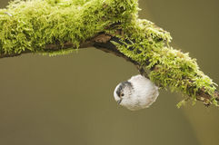 Long Tailed Tit (Aegithalos caudatus) hanging from a log Stock Image