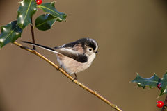 Long tailed tit, Aegithalos caudatus Royalty Free Stock Photo