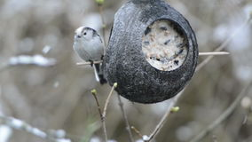 Long-tailed tit Aegithalos caudatus looking for seeds on bird feeder in winter. coconut stock footage
