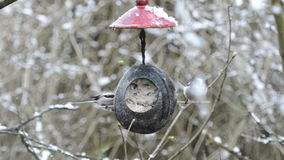 Long-tailed tit Aegithalos caudatus looking for seeds on bird feeder in winter. coconut stock video