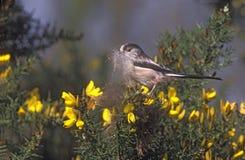 Long-tailed tit, Aegithalos caudatus Stock Photo