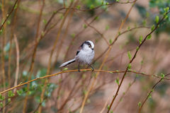 Long tailed tit (Aegithalos caudatus) Royalty Free Stock Images