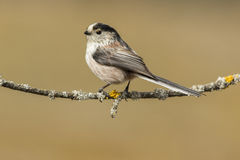 Long-tailed tit, (Aegithalos caudatus). Perched on a branch in the forest Stock Image