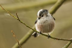 A cute Long-tailed Tit Aegithalos caudatus perched on a branch in a tree. A Long-tailed Tit Aegithalos caudatus perched on a branch in a tree Stock Images