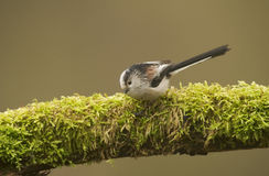 Long Tailed Tit (Aegithalos caudatus) perched on log Royalty Free Stock Photos