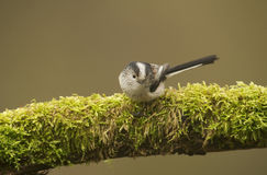 Long Tailed Tit (Aegithalos caudatus) perched on log Royalty Free Stock Photography