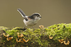 Long Tailed Tit (Aegithalos caudatus) perched on log Royalty Free Stock Images
