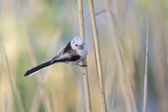 Free Long-tailed Tit Aegithalos Caudatus Perched On A Reed Branch Carrying Food In Its Beak For Their Young. Royalty Free Stock Images - 127589469