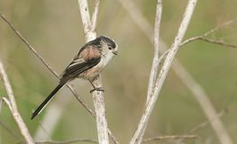 A cute Long-tailed Tit Aegithalos caudatus perched on a plant. Stock Photo