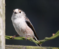 Long-tailed tit Aegithalos caudatus Royalty Free Stock Photos
