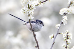 Long-tailed tit, Aegithalos caudatus. Single bird on blossom Royalty Free Stock Photography