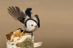 Long-tailed tit Royalty Free Stock Photography