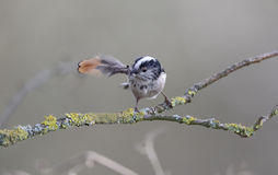 Long-tailed tit, Aegithalos caudatus Stock Photography