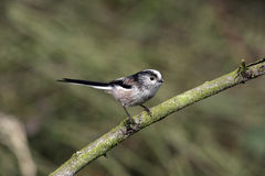 Long-tailed tit, Aegithalos caudatus Royalty Free Stock Photography