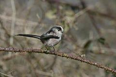 Long-tailed tit, Aegithalos caudatus Royalty Free Stock Images