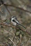 Long-tailed tit, Aegithalos caudatus Stock Images