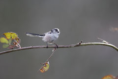 Long-tailed tit, Aegithalos caudatus Stock Images