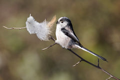 Long-tailed tit, Aegithalos caudatus Stock Photography