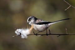Long-tailed tit, Aegithalos caudatus Royalty Free Stock Photo