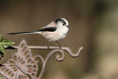 Long-tailed tit, Aegithalos caudatus Royalty Free Stock Images