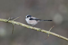 Long-tailed tit, Aegithalos caudatus Stock Photo