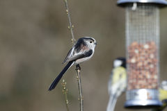 Long-tailed tit, Aegithalos caudatus Royalty Free Stock Photo