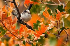 Long-tailed tit Aegithalos caudatus sits in the autumn foliage.  Stock Images